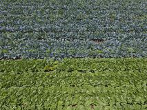 Vista aerea della terra di agricoltura di lattuga Immagini Stock