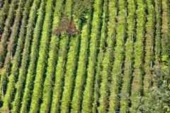 Vista aerea della vigna della collina verde Immagine Stock