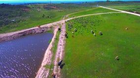 Vista aerea delle mucche che pascono nel campo archivi video
