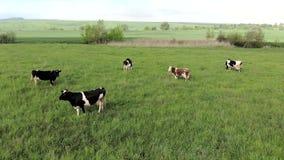 Vista aerea delle mucche su un'azienda agricola Gruppo di mucche che camminano e che masticano tranquillamente erba su un prato v archivi video