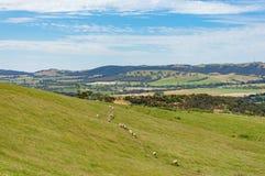 Vista aerea delle pecore sulla collina pittoresca Fotografia Stock