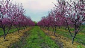 Vista aerea di alba di uno sbocciare degli alberi da frutto in un campo Peschi archivi video