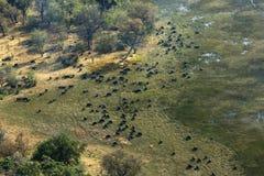 Vista aerea di grande gregge della Buffalo africana del capo Fotografie Stock