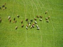 Vista aerea di pascolo delle mucche in un gregge su un pascolo verde di estate Fotografia Stock