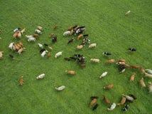 Vista aerea di pascolo delle mucche in un gregge su un pascolo verde di estate Fotografie Stock