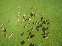 Vista aerea di pascolo delle mucche in un gregge su un pascolo verde di estate Immagini Stock