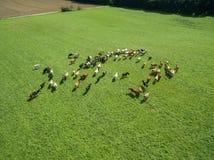 Vista aerea di pascolo delle mucche in un gregge su un pascolo verde di estate Fotografie Stock Libere da Diritti
