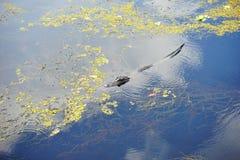 Vista aerea di un alligatore Fotografia Stock Libera da Diritti