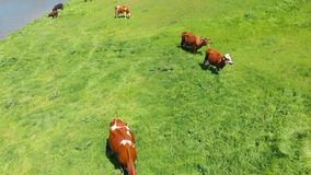 Vista aerea di un gruppo di mucche che masticano erba su un prato verde intenso su un ranch video d archivio