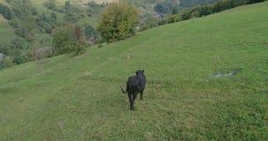 Vista aerea: La volata in basso e rallenta sopra la mucca in montagne Transcarpathian stock footage