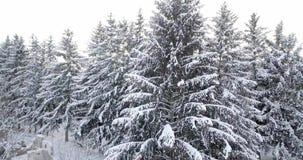 Vista aerea sopra una foresta nevosa coperta di neve Sorvoli l'abete nevoso congelato e la foresta spessa della foresta dei pini  video d archivio