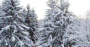 Vista aerea sopra una foresta nevosa coperta di neve Sorvoli l'abete nevoso congelato e la foresta spessa della foresta dei pini  stock footage