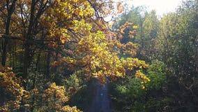 Vista aerea sui rami nel fogliame di giallo di autunno con la strada archivi video
