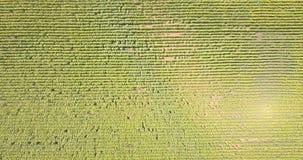 Vista aerea: volando all'elevata altitudine sopra un campo con i girasoli di chiaro giorno archivi video