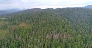 Vista aerea: Volando sopra la foresta degli aghi in Transcarpathian archivi video