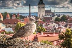 Vista agradável da cidade velha de Tallinn Estônia Fotografia de Stock