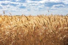 Vista al giacimento di grano immagini stock