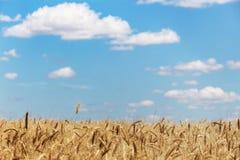 Vista al giacimento di grano immagini stock libere da diritti