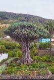 Vista al giardino botanico ed all'albero millenario famoso Drago in Ico Fotografie Stock