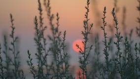 Vista al sol rojo de la tarde a través de la hierba almacen de metraje de vídeo