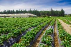 Vista all'aperto delle file delle piante di fragola in un giacimento della fragola Immagini Stock