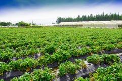 Vista all'aperto delle file delle piante di fragola in un giacimento della fragola Immagine Stock Libera da Diritti