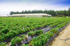 Vista all'aperto delle file delle piante di fragola in un giacimento della fragola Immagine Stock