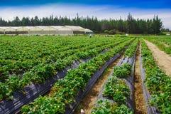 Vista all'aperto delle file delle piante di fragola in un giacimento della fragola Fotografie Stock