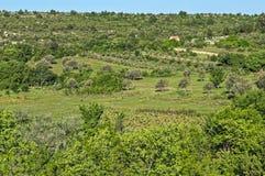Vista alla valle con di olivo, paesaggio della Dalmazia Immagine Stock