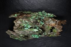 Vista alta tagliente e vicina della corteccia del pino sulla superficie di pietra nera del fondo Corteccia coperta di licheni e d Fotografie Stock Libere da Diritti