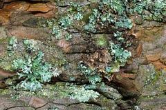 Vista alta tagliente e vicina della superficie del fondo della corteccia del pino Corteccia coperta di licheni e di muschio Immagini Stock Libere da Diritti