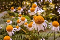 Vista alta vicina dei fiori della camomilla fotografia stock