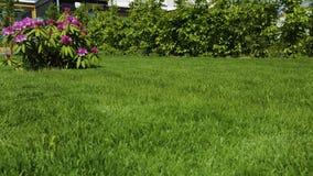 Vista alta vicina del fiore del rododendro che fiorisce sul fondo dell'erba verde archivi video