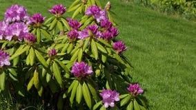Vista alta vicina del fiore del rododendro che fiorisce sul fondo dell'erba verde stock footage