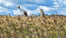 Vista alta vicina del giacimento di grano contro il cielo nuvoloso immagini stock libere da diritti