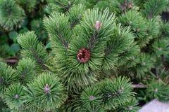 Vista alta vicina del pino con la piccola macro dell'ago dell'albero di Natale di verde della pigna Immagini Stock