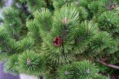 Vista alta vicina del pino con la piccola macro dell'ago dell'albero di Natale di verde della pigna Fotografia Stock Libera da Diritti