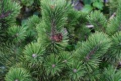 Vista alta vicina del pino con la piccola macro dell'ago dell'albero di Natale di verde della pigna Fotografia Stock