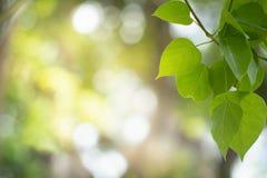 Vista alta vicina della foglia verde con il bokeh di bellezza in giardino nell'ambito di luce solare fotografie stock libere da diritti