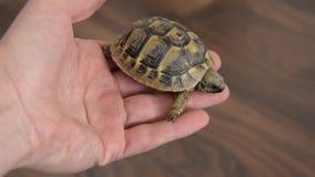 Vista alta vicina della mano della donna che tiene una tartaruga archivi video