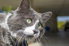 Vista alta vicina di bello cat& verde x27; occhio di s Gioco grigio e bianco del gatto all'aperto Bella pelliccia strutturata immagine stock