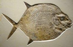 vista alta vicina di un fossile del pesce luna fotografie stock