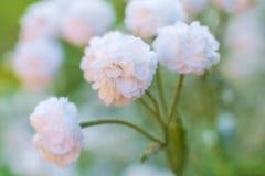 Vista alta vicina sull'fiori del Gypsophila fotografie stock