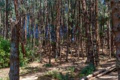 Vista amplia de los árboles de pino con luz del sol brillante, Ooty, la India, el 19 de agosto de 2016 Foto de archivo libre de regalías