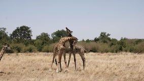 Vista amplia del collarino masculino de las jirafas en masai Mara, Kenia metrajes