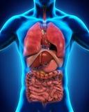 Vista anteriore del corpo umano Fotografia Stock Libera da Diritti