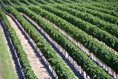 Vista aérea del viñedo en Ontario Canadá Foto de archivo libre de regalías