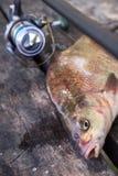 Vista ascendente cercana de la brema y de la ca?a de pescar comunes de agua dulce grandes con el carrete en fondo de madera del v fotos de archivo libres de regalías