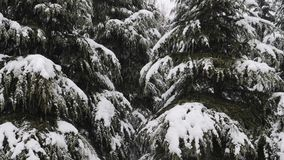 Vista ascendente cercana de la nieve que baja en las ramas de los abetos La nieve cae de rama de árbol de pino en un bosque almacen de metraje de vídeo