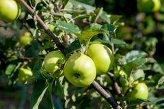 Vista ascendente cercana de la rama de árbol con la manzana orgánica en la rama, frutas en huerta foto de archivo